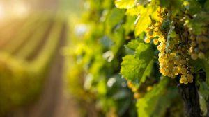 Master in Enologia, Viticoltura e Marketing del Vino